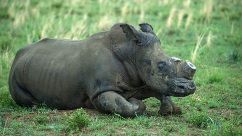 A de-horned rhino slowly wakes up after his horn was trimmed at John Hume's Rhino Ranch in Klerksdorp, in the North Western Province of South Africa, on February 3, 2016. Millionaire, John Hume is a private rhino owner/breeder in South Africa, who strongly advocates for legalising trade. His private game ranch, started in 1992, has approximately 1000 rhinos, all of whom have been dehorned. South Africa has by far the largest population of rhinos in the world and is an incredibly important country for rhino conservation. However, rhino poaching has reached a crisis point, and if the killing continues at this rate, we could see rhino deaths overtaking births in 2016-2018, meaning rhinos could go extinct in the very near future. Figures compiled by the South African Department of Environmental affairs show the dramatic escalation in poaching over recent years.  / AFP / MUJAHID SAFODIEN        (Photo credit should read MUJAHID SAFODIEN/AFP/Getty Images)
