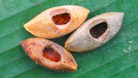 Evidence of nuts with circular holes removed by rats in the Solomon Islands.