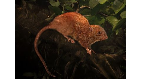"""An illustration of the newly discovered giant tree rat, Uromys vika, known by the locals as """"vika."""""""