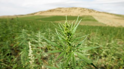 Cannabis plantations in the northern Moroccan Larache region.