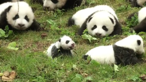 Panda cubs debut China
