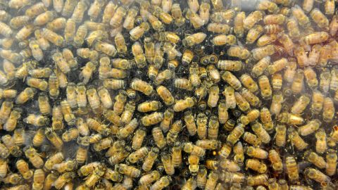 Honeybees on display at the 199th Topsfield Fair in Topsfield, Massachusetts on September 29, 2017.   The Topsfield Fair is the oldest in the United States and was founded in 1818. / AFP PHOTO / Joseph PREZIOSO        (Photo credit should read JOSEPH PREZIOSO/AFP/Getty Images)