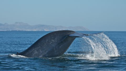 """Blue whales tend to be """"right handed"""""""
