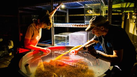 Researchers collect coral spawn from tanks on Heron Island.