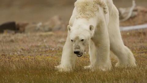 Starving polar bear video Paul Nicklen cnni_00000000.jpg