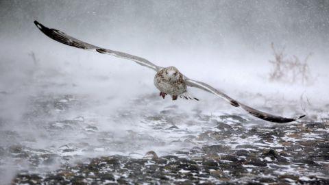A seagull takes flight in Hull, Massachusetts, on January 4.