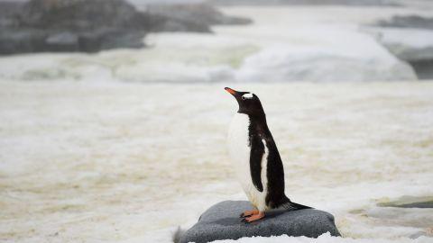 A Gentoo penguin in Antarctica