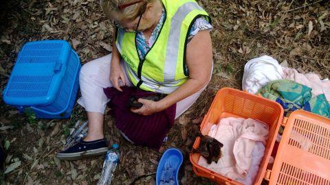 A wildlife-rescue volunteer tends to a heat-stricken bat.