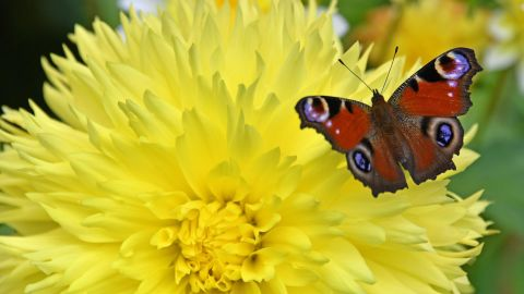A peacock butterfly (Inachis io) flies over a flower in Apolda, eastern Germany, on September 19, 2017.