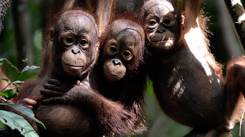 """This picture taken on August 4, 2016 shows three orphaned orangutan babies hanging in a tree whilst attending """"jungle school"""" at the International Animal Rescue centre outside the city of Ketapang in West Kalimantan. Ignoring the shrieks of his rowdy, wrestling classmates, baby orangutan Otan practises swinging alone at his """"jungle school"""" on Borneo island, switching hands and hanging upside down as he builds confidence high above the forest floor. The three-year-old is learning to fend for himself since being found wandering a palm oil plantation, alone and suffering smoke inhalation, at the height of fires last year that razed huge swathes of rainforest in Indonesia's part of Borneo.   / AFP / BAY ISMOYO / TO GO WITH AFP STORY: 'INDONESIA-CONSERVATION-ENVIRONMENT-ANIMAL-ORANGUTAN / FEATURE BY NICK PERRY        (Photo credit should read BAY ISMOYO/AFP/Getty Images)"""