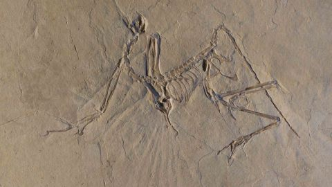 """Researchers have been studying Archaeopteryx fossils for 150 years, but new X-ray data reveal that the bird-like dinosaur may have been an """"active flyer."""""""