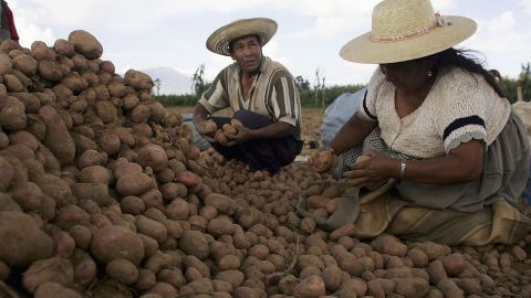 Potato farmers in Bolivia, 2005. A paper in 2012 estimated the value of yield lost to potato late blight could be as high as $6.7 billion annually.