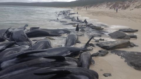More than 150 pilot whales beached themselves on the west coast of Australia, and despite efforts to rescue them, the vast majority died, the Australia Parks and Wildlife Service announced Friday.