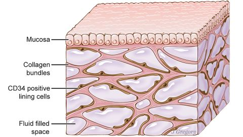 The interstitium is seen here beneath the top layer of skin, but is also in tissue layers lining the gut, lungs, and urinary systems, as well as those surrounding blood vessels and the fascia between muscles. It is a body-wide network of interconnected, fluid-filled compartments supported by a meshwork of strong, flexible proteins.
