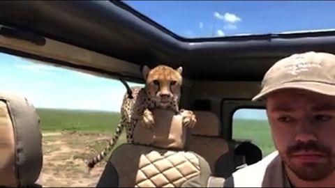 cheetah jumps into car on safari