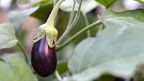 """Eggplant showed themselves guilty, at worst, of contamination with three types of pesticides, according to the group. Best of all, almost three out of every four tested eggplants contained no pesticides whatsoever. Thus, eggplants ranked last on the top 10 within the """"Clean 15"""" list."""