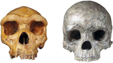 On the left is a fossilized skull of our hominin ancestor Homo heidelbergensis, who lived 200,000 to 600,000 years ago. On the right is a modern human skull. Hominins had pronounced brow ridges, but modern humans evolved mobile eyebrows as their face shape became smaller.