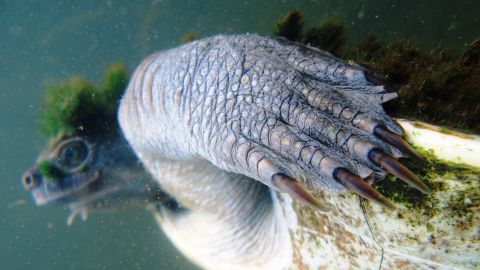 The turtle can stay underwater for three days.