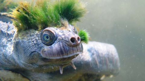 The Mary River turtle is native to Queensland, Australia.
