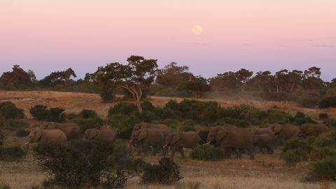 A herd of elephants walk together at dusk in 2010 in the Mashatu Game Reserve in Botswana.