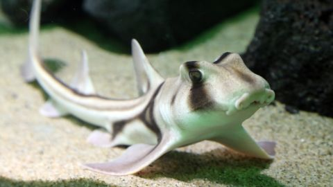 Researchers studying Port Jackson sharks have found the species has best friends and likes jazz