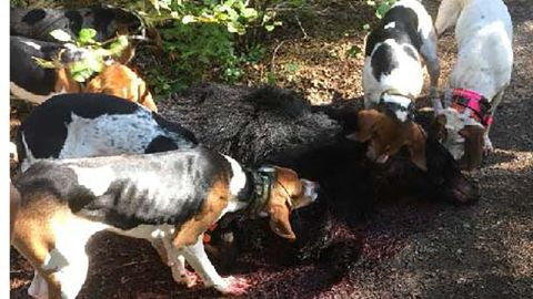 Dogs surround a bloody bear.