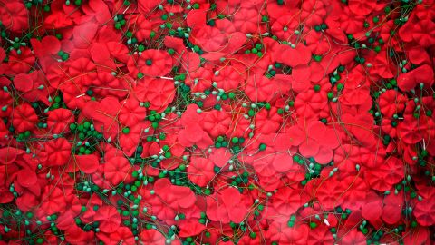 Part of a display of 645,000 poppies are seem behind glass on the National Mall on May 25, 2018 in Washington, DC. (MANDEL NGAN/AFP/Getty Images)