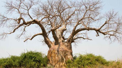 A large baobab tree in Lower Zambezi National Park, Zambia, Africa