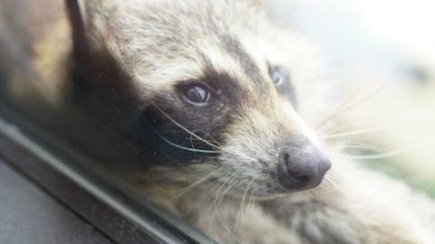 Picture of the raccoon that climbed the MPR building in St. Paul