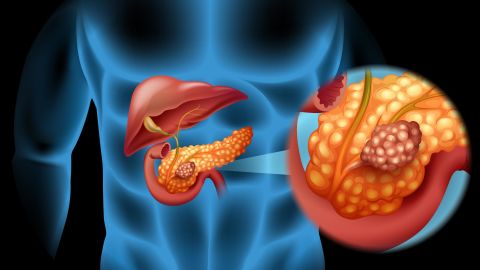The pancreas helps regulate blood sugar by releasing insulin and glucagon.