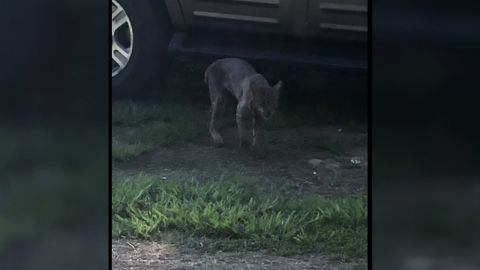 DeDe Phillips said she took this photograph of a bobcat moments before the animal attacked her