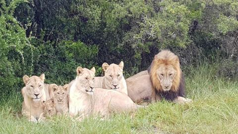 File photo of a pride of lions at the Sibuya Game Reserve in South Africa. Investigators say lions killed poachers who sneaked onto the reserve to hunt rhinos.