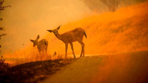 Deer graze along a road covered in fire retardant as the Carr Fire burns near Redding on Saturday, July 28.