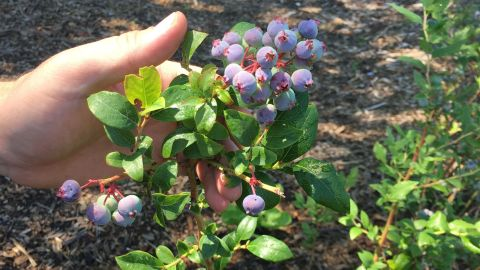 Blueberries on Drew Hiatt's farm.