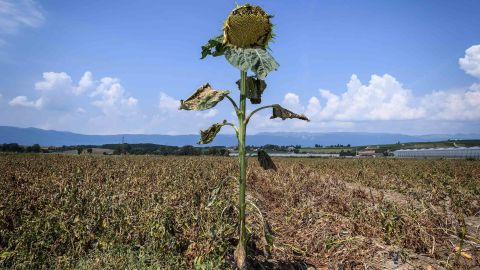 A sunflower with dried leaves is seen near Perly-Certoux, Switzerland, on Monday, August 6.