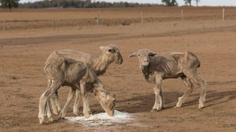 Australian farmers have struggled to feed their livestock with depleting fodder and rising costs. June 20, Coonabarabran, New South Wales.