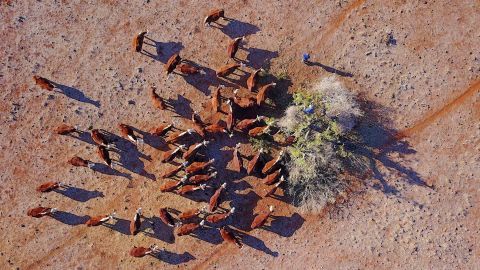 """Farmer Ash Whitney stands atop a tree as he cuts off branches to feed his cattle in a drought-effected paddock on his property located west of the town of Gunnedah in New South Wales, Australia, June 3, 2018. """"I have been here all my life, and this drought is feeling like it will be around a while,"""" said Whitney. REUTERS/David Gray    SEARCH """"AUSTRALIA DROUGHT"""" FOR THIS STORY. SEARCH """"WIDER IMAGE"""" FOR ALL STORIES. (Newscom TagID: rtrlten235140.jpg) [Photo via Newscom]"""