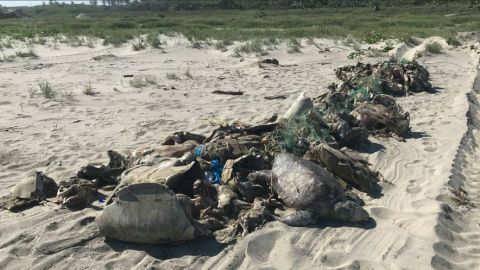 Hundreds of Olive Ridley (Lepidochelys olivacea) sea turtles were found dead in the southern coast of Mexico August 28, 2019.
