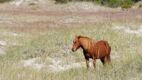 """The wild horses at Shackleford Banks """"have incredible instincts"""" when it comes to protecting themselves."""