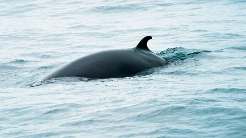 A minke whale swims in the waters of  the Stellwagen Bank National Marine Sanctuary May 10, 2018 near Gloucester, Massachusetts. - Minke whales are the second smallest baleen whale and at full maturity may reach 7 or 8 meters in length. (Photo by Don EMMERT / AFP)        (Photo credit should read DON EMMERT/AFP/Getty Images)