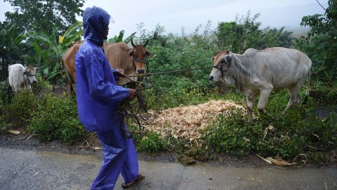 A farmer gathers his herd of cows to a safe place as the typhoon nears Tuguegarao City on September 14.