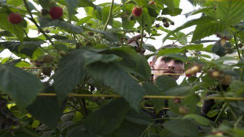A Romanian worker picks raspberries at Clock House Farm in Kent, southeast England.