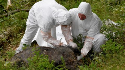 26 June 2018, Germany, Wahlstedt: Vets of a salvage team wearing protective suits inspect a dead boar, which was killed for the purpose of this exercise. Responsible authorities and organizations practice the course of action during an outbreak of the African Swine Fever
