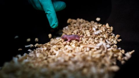 This image shows a bipaternal mouse pup born to two fathers.