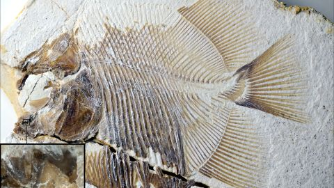 This fossil represents a new piranha-like fish from the Jurassic period with sharp, pointed teeth. It probably fed on the fins of other fishes.