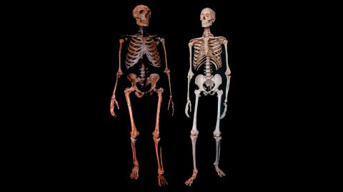 A Neanderthal fossil, left, and a modern human skeleton. Neanderthals have commonly be considered to show high incidences of trauma compared with modern humans, but a new study reveals that head trauma was consistent for both.