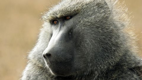 Olive baboon / Anubis baboons (Papio anubis) close up portrait, Lake Nakuru National Park, Kenya, East Africa. (Photo by: Arterra/UIG via Getty Images)