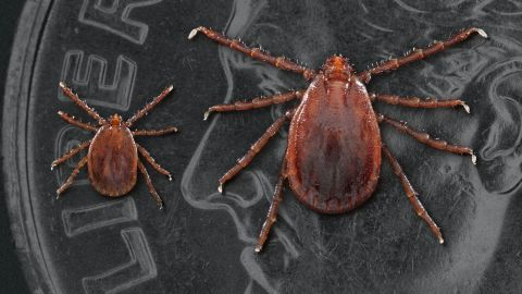 Two Asian longhorned ticks: a nymph or immature tick at left and an adult female.