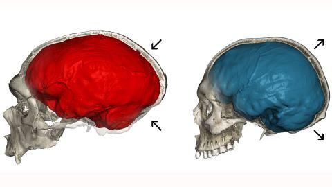 Neanderthal or Homo sapiens: Do you recognize your skull?