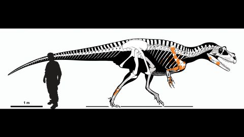 A skeletal reconstruction of Saltriovenator zanellai, made by comparing the shape and proportions of known elements (in orange) with those of more complete skeletons of related species.
